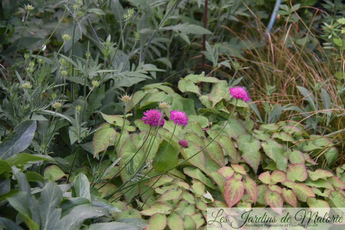 knautia macédonica et épimedium