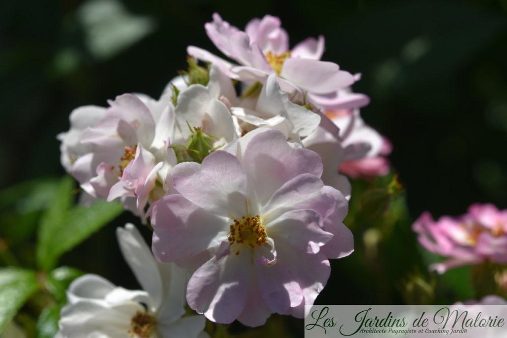 rosa 'Belle des Fagnes'