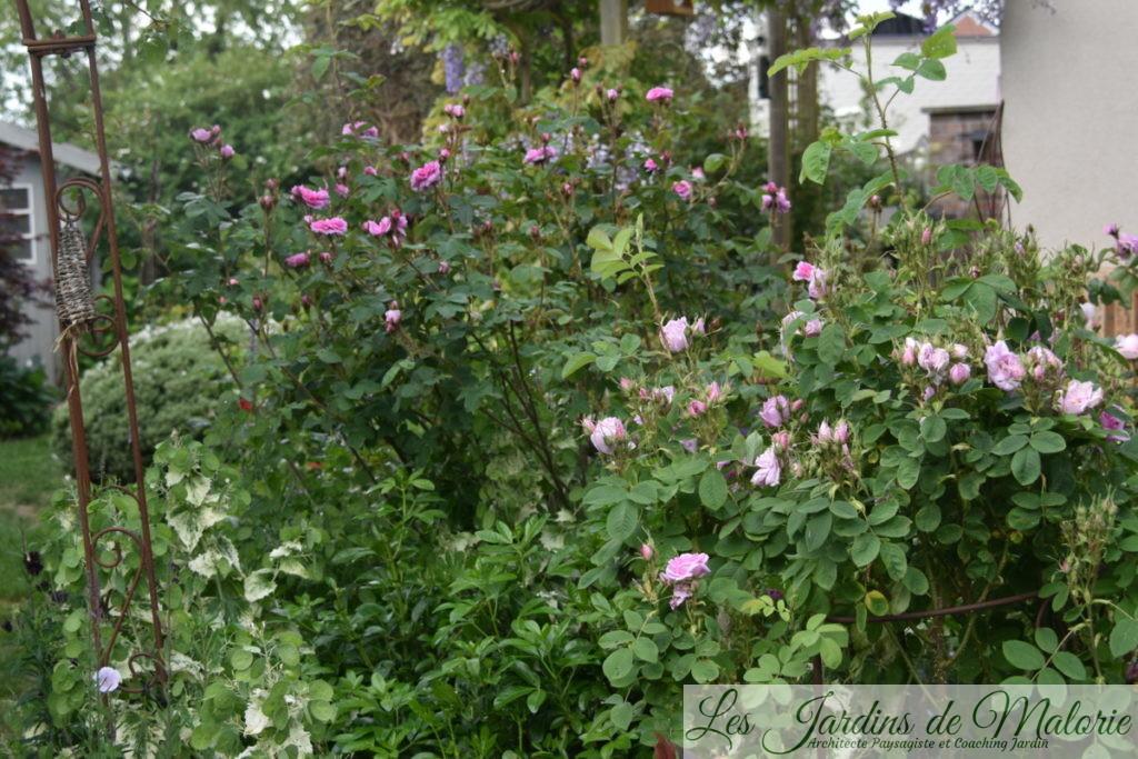 rosier 'Rose des Quatre Saisons' et 'Zoé'