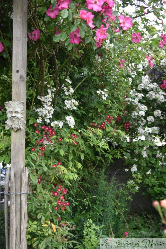 en blanc, le rosier liane issu d'un semis spontané de chez André Eve, et en rouge, le rosier 'Mademoiselle des minuits' une obtention d'andré Eve