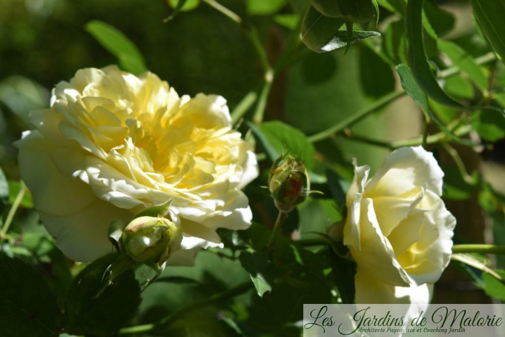 rosa 'The Pilgrim'