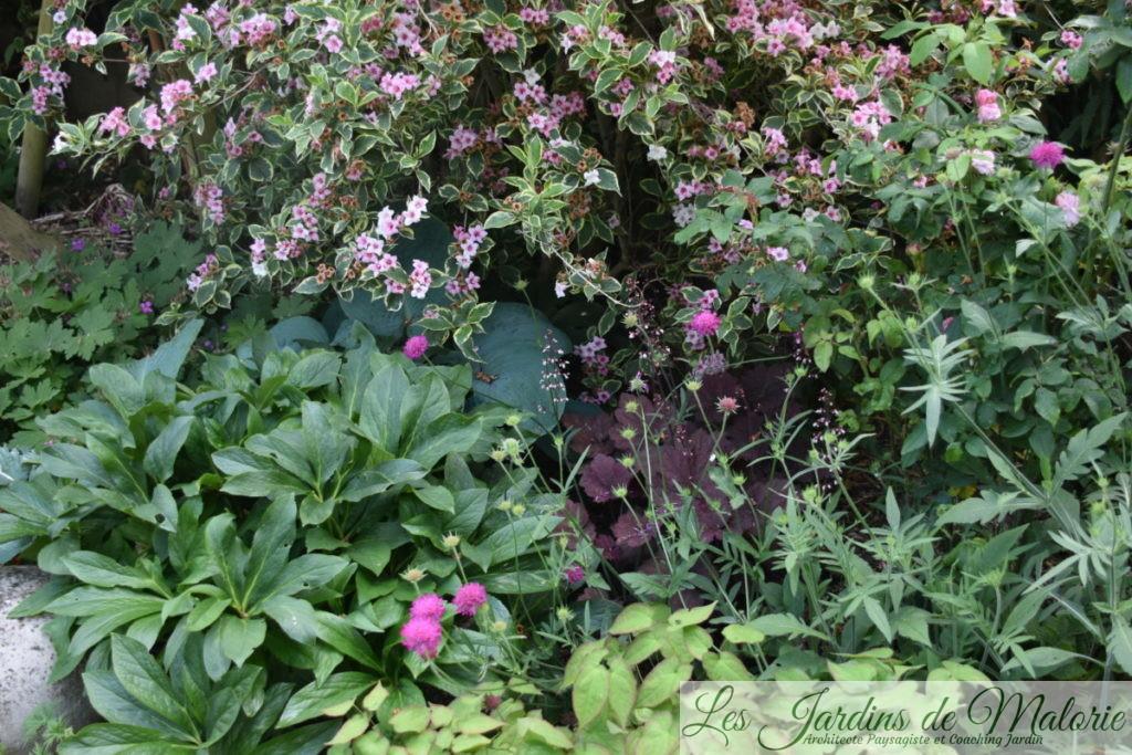 weigelia florida 'Variegata' avec hellébore, heuchère, épimedium, knautia macedonica