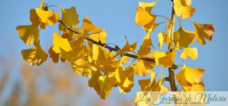 🌳 Ginkgo biloba, l'arbre aux 40 écus