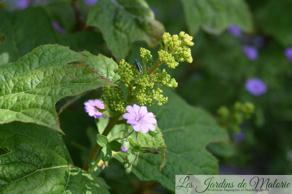 insecte vert métalisé, Oedemère noble, Oedemera nobilis (femelle) sur une fleur de hydrangea quercifolia