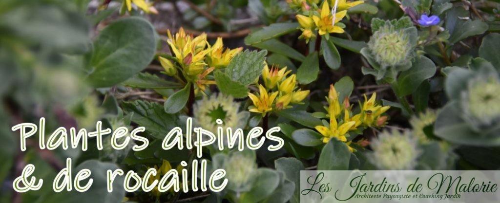Plantes alpines et de rocaille