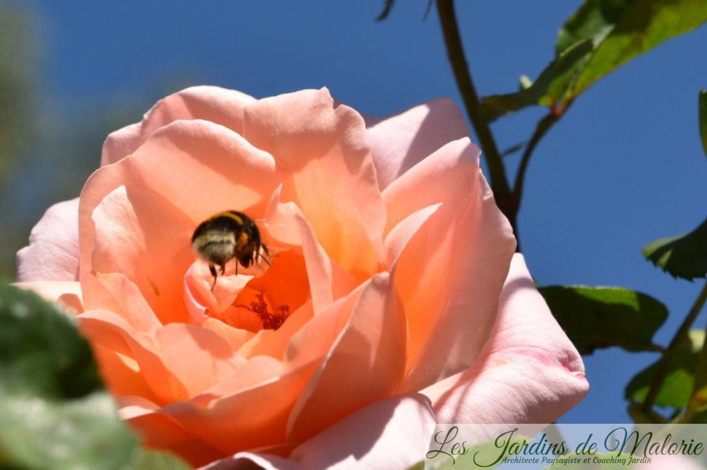 rosier 'Coraline