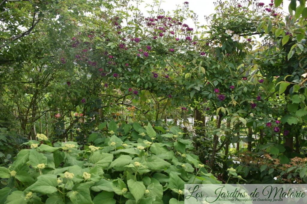 rosier 'Violette'