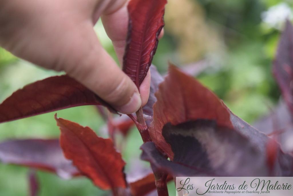 j'ai pincé la persicaria microcephala 'Red Dragon'