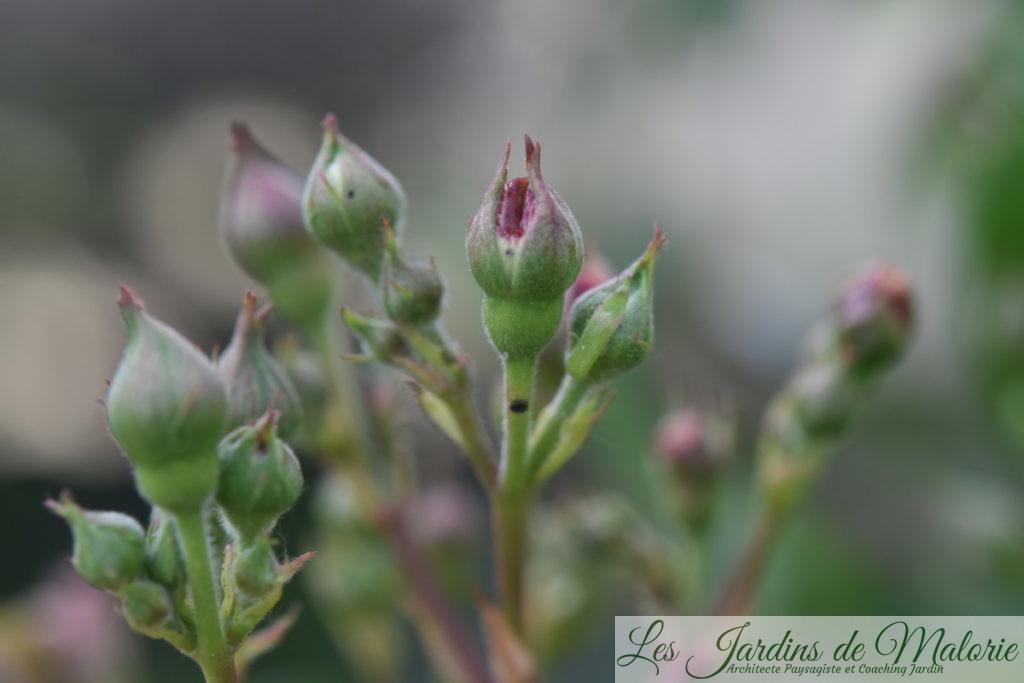 un bouton de rose dont la base est piquée par un charançon parasite des rosiers (anthonome ou apion?)