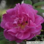 Chroniques de mon jardin : Ouverture du bal des roses ...