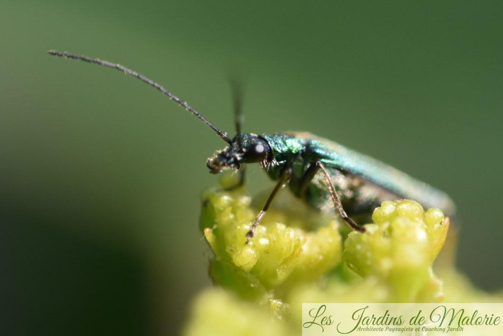 insecte vert métalisé, Oedemère noble, Oedemera nobilis (femelle)