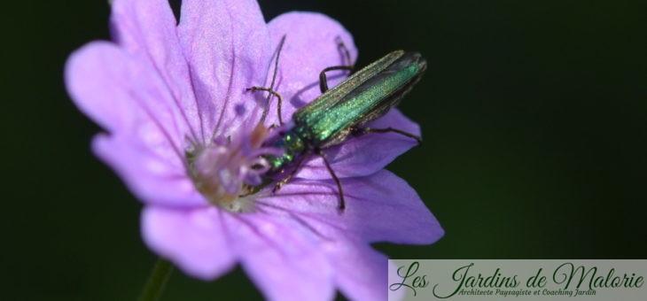 Oedemère noble, un bel insecte vert métallisé