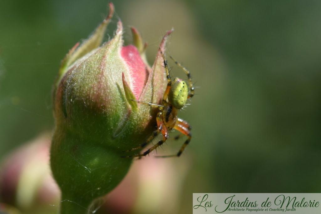 Araignée courge ou épeire concombre, Araniella cucurbitina (mâle en tenue estivale, vert pistache). Les femelles atteignent en moyenne 7 mm et les mâles maximum 4,5 mm.
