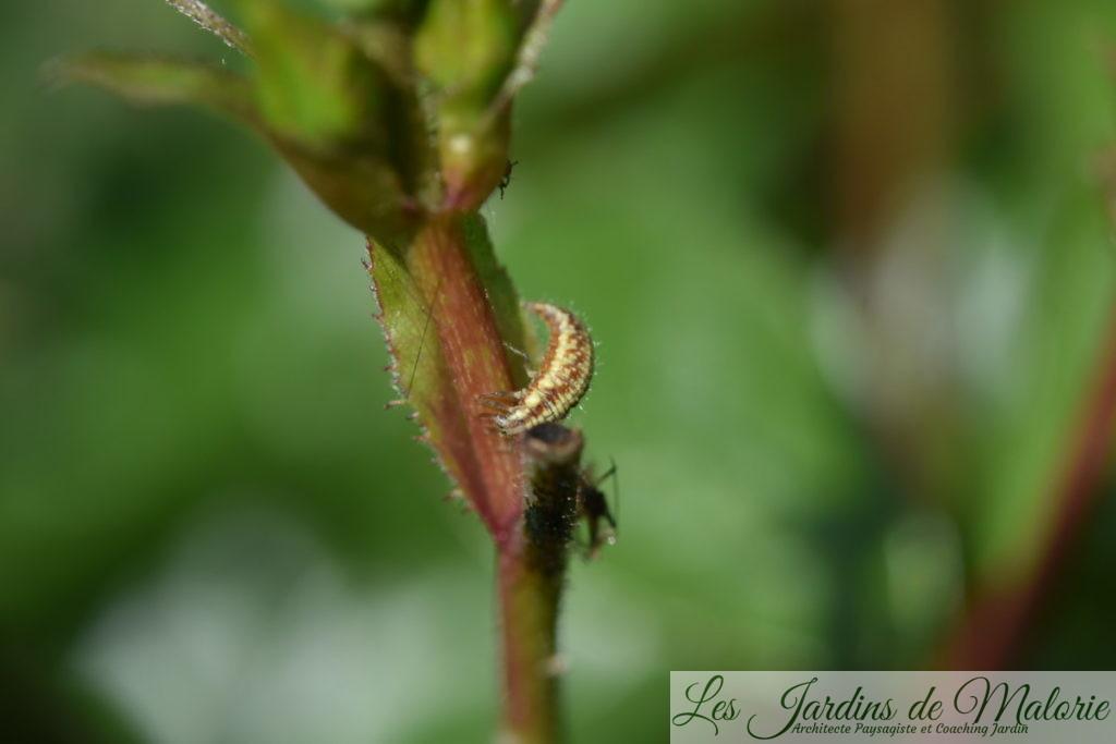 larve de chrysope, la demoiselle aux yeux d'or