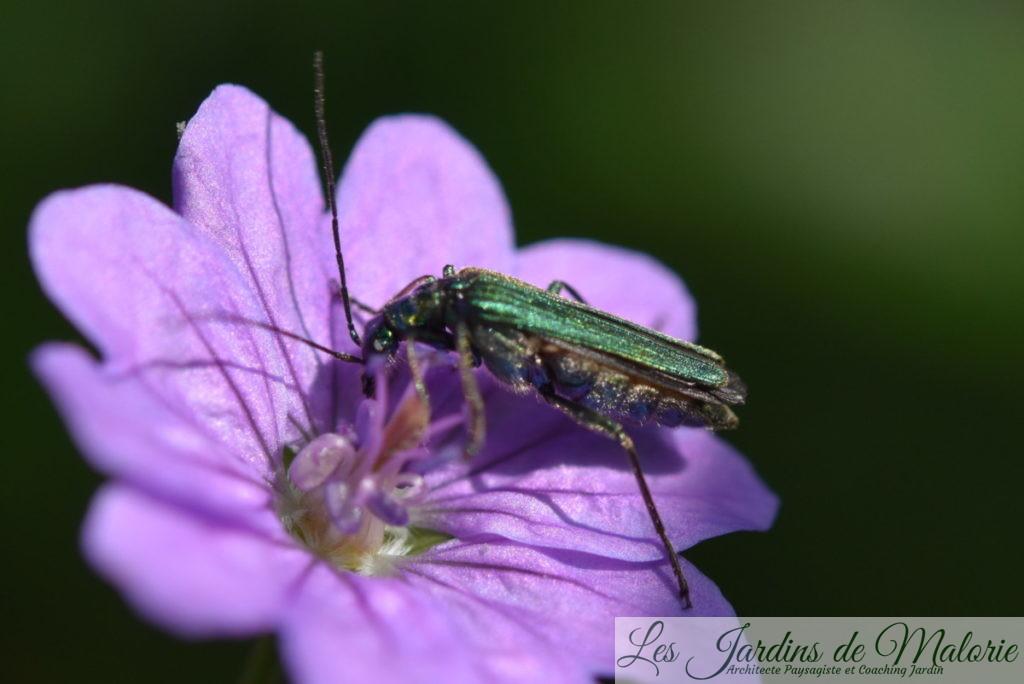 insecte vert métalisé, Oedemère noble, Oedemera nobilis (femelle) sur une fleur de géranium pyrenaicum