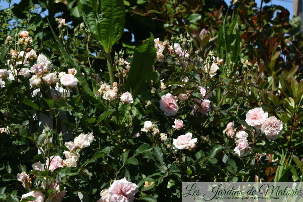 rosa 'Félicia'