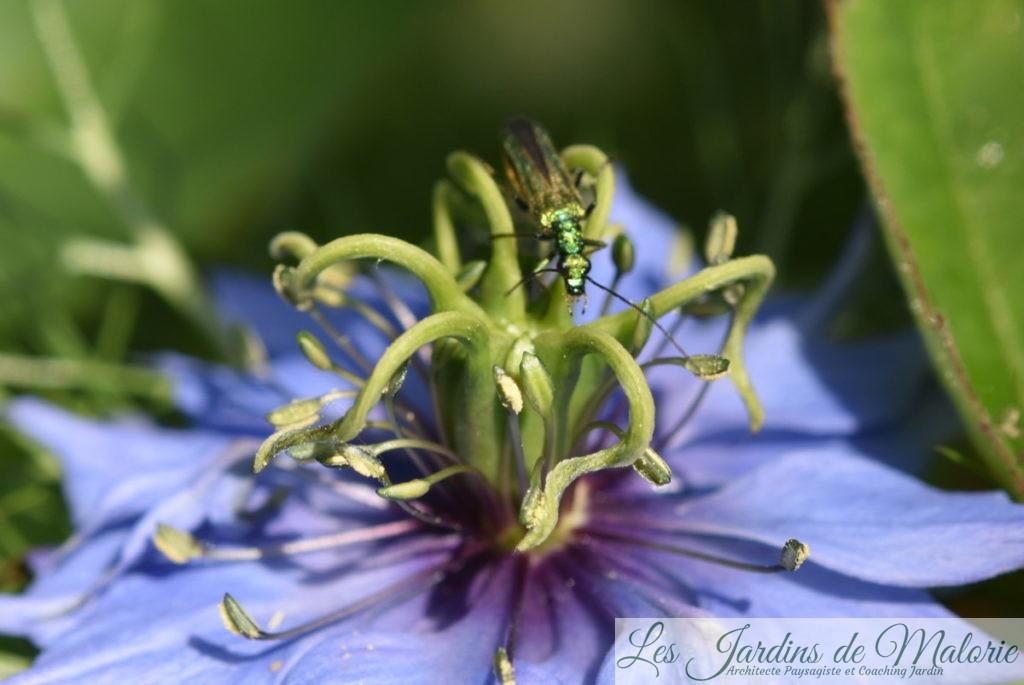 insecte vert métalisé, Oedemère noble, Oedemera nobilis (femelle) sur un nigelle