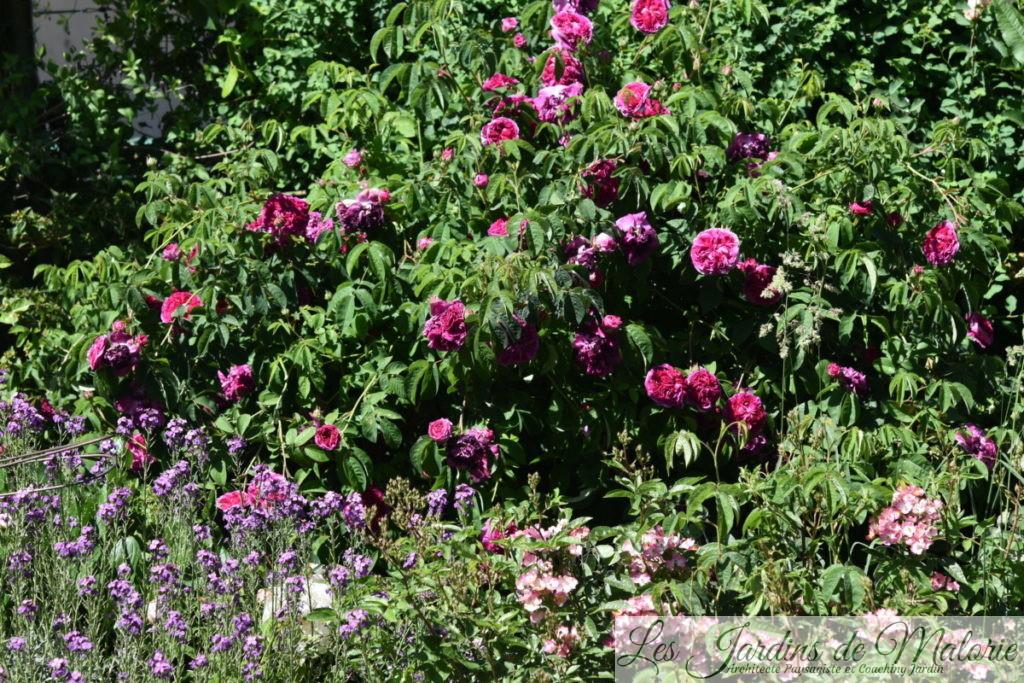 rosa 'Charles de Mills'