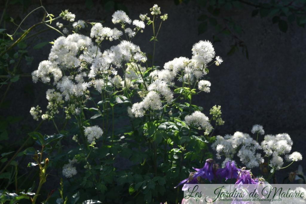 thalictrum 'Splendide'