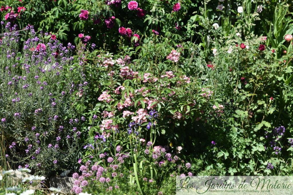 erysimum 'Bowles mauve', rosa 'Puccini', crucianelle