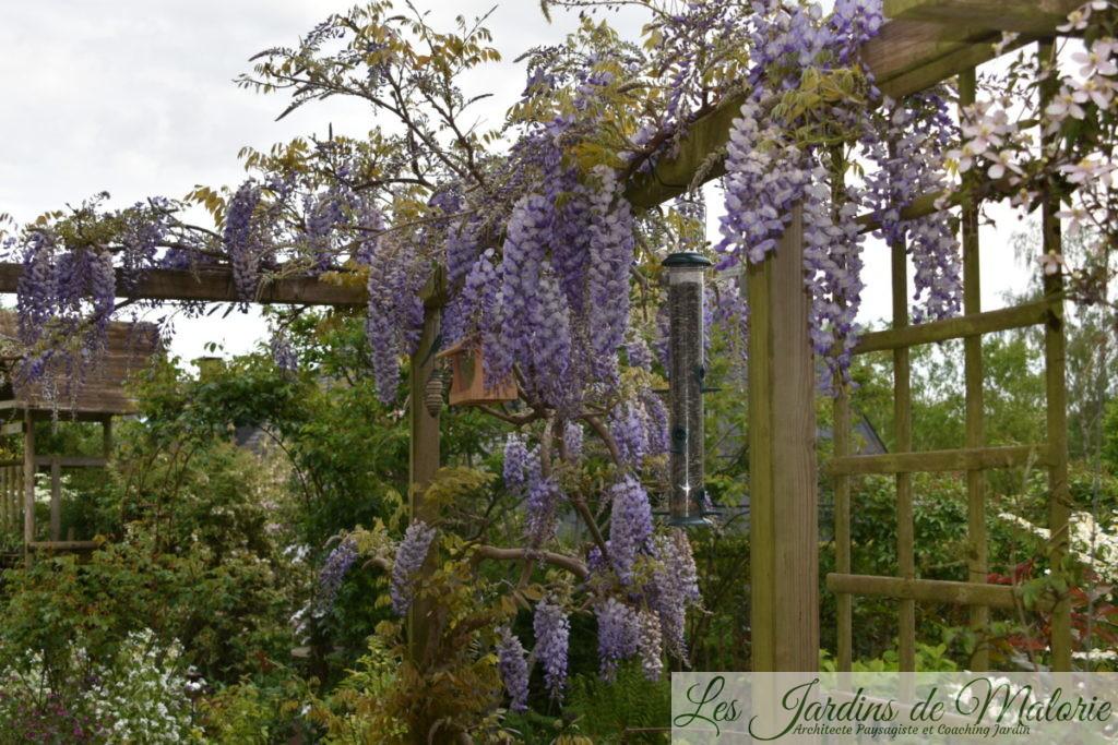 glycine, wisteria sinensis
