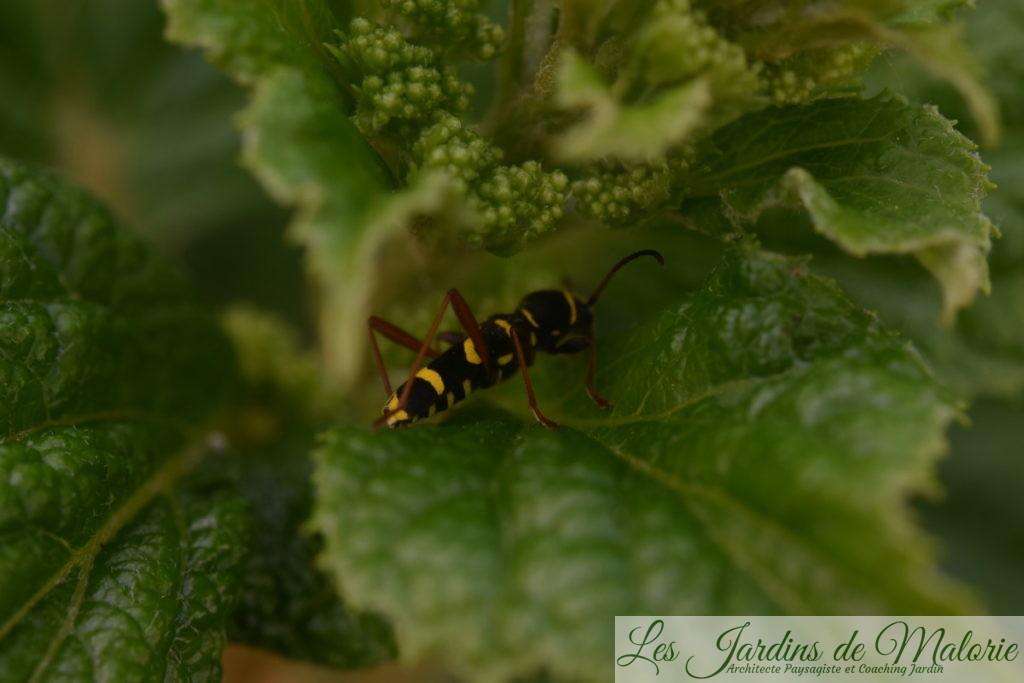 insecte, coléoptère jaune et noir, Clytus arietis, le Clyte bélier