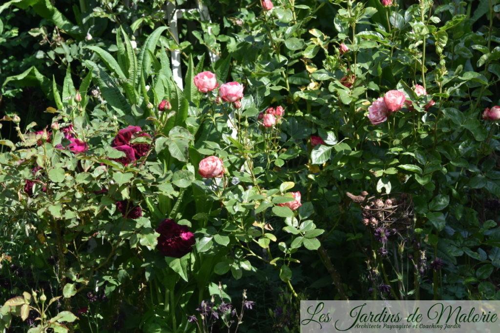 rosiers 'Munstead Wood' et 'Acropolis'