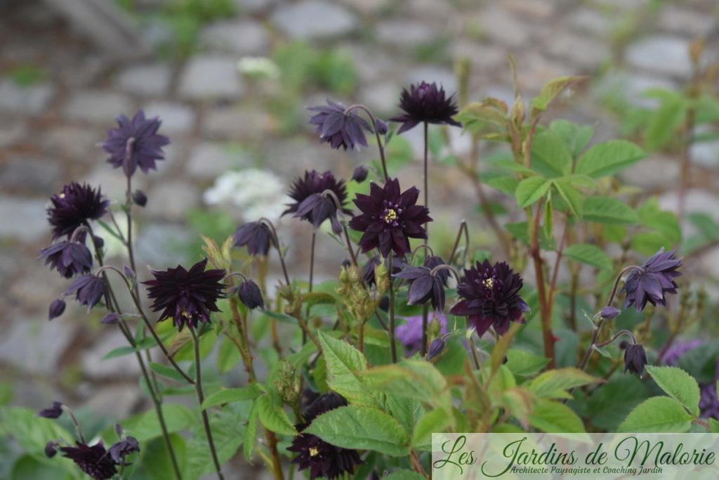 ancolies 'Black Barlow'