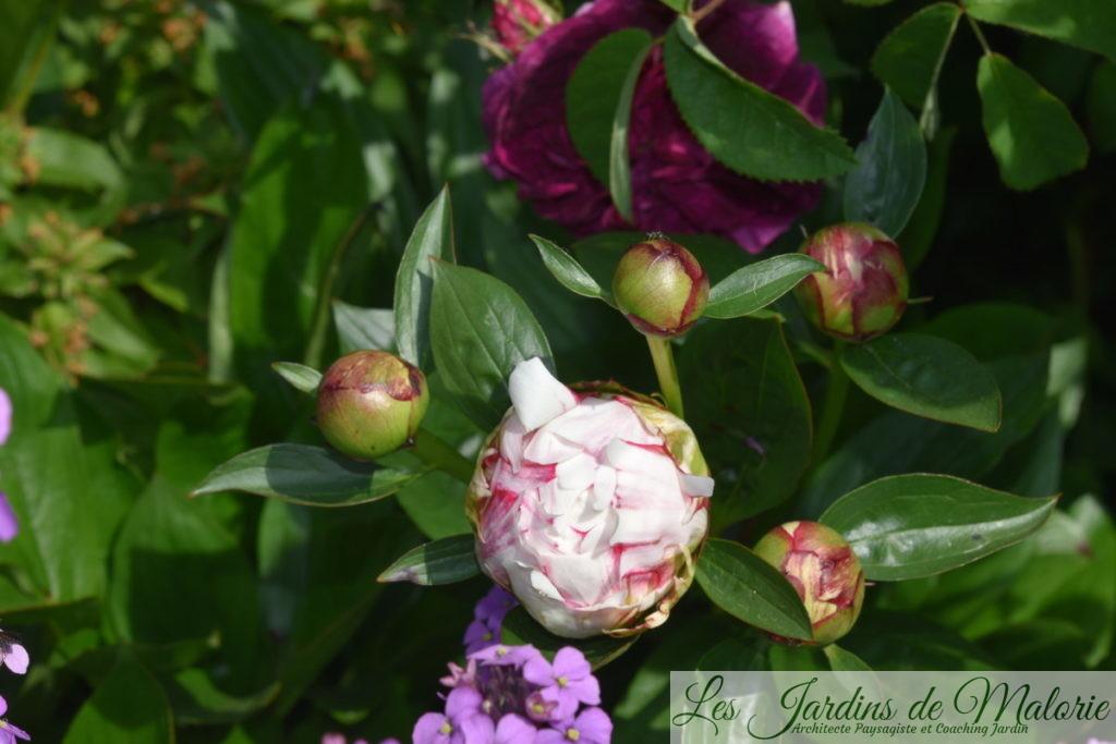rosier 'Charles de Mills', pivoine et giroflée