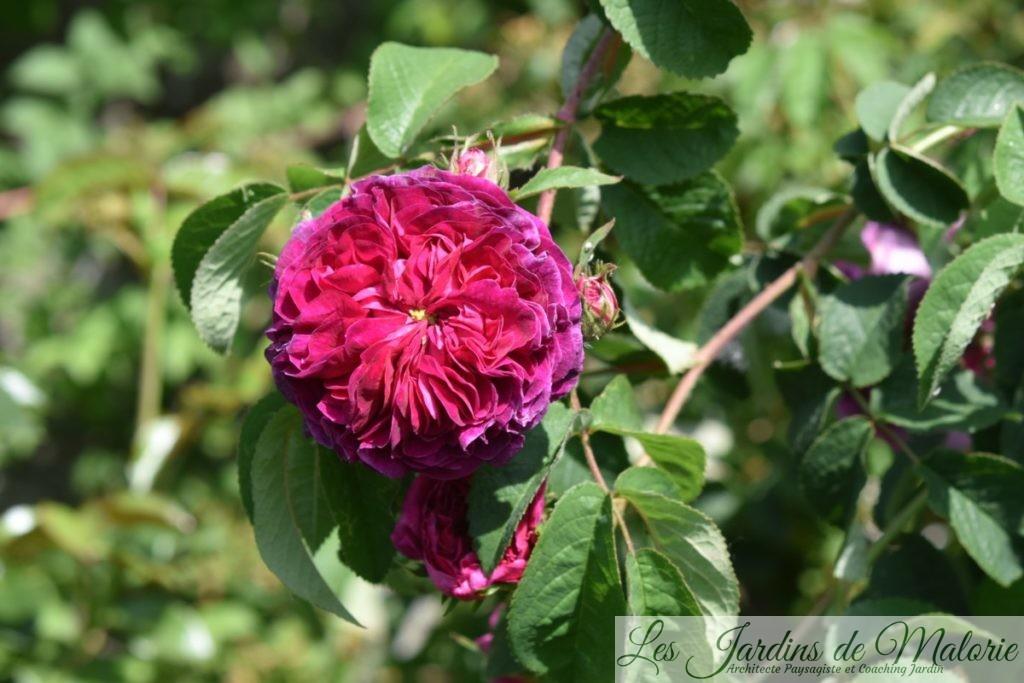 rosier 'Charles de Mills'