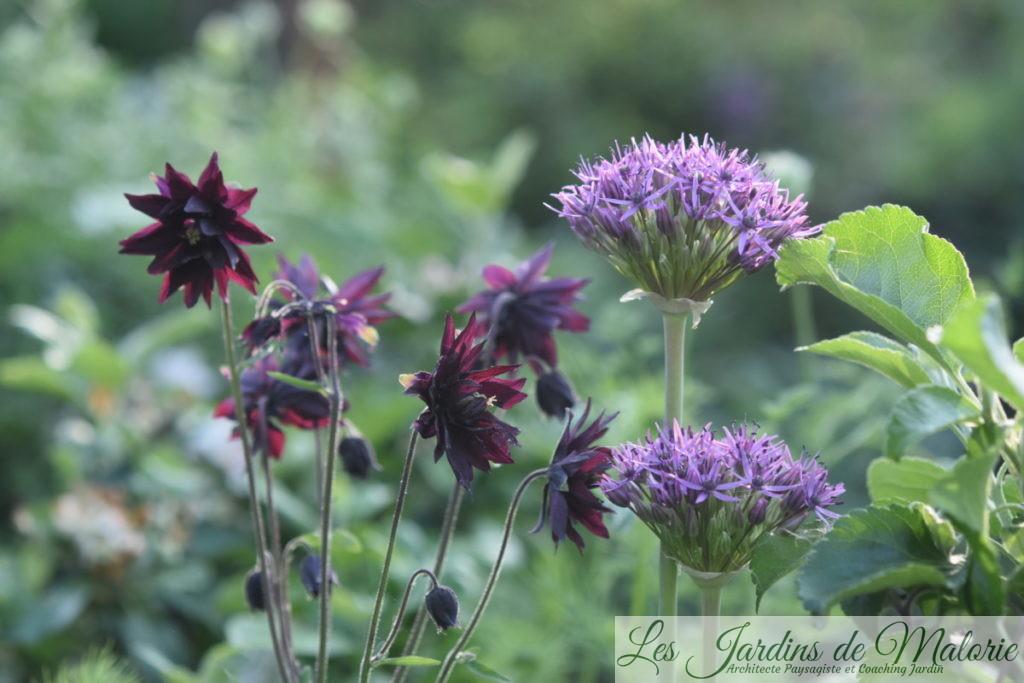 Allium et Aquilegia vulgaris, l'ancolie des jardins
