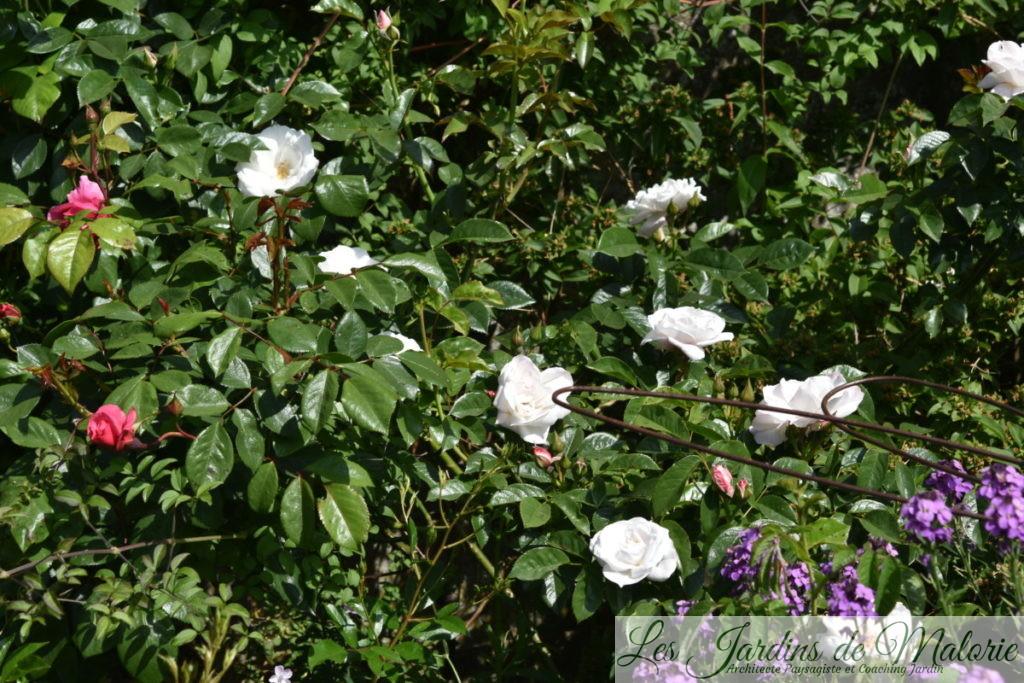 rosier 'Pearl Drift'