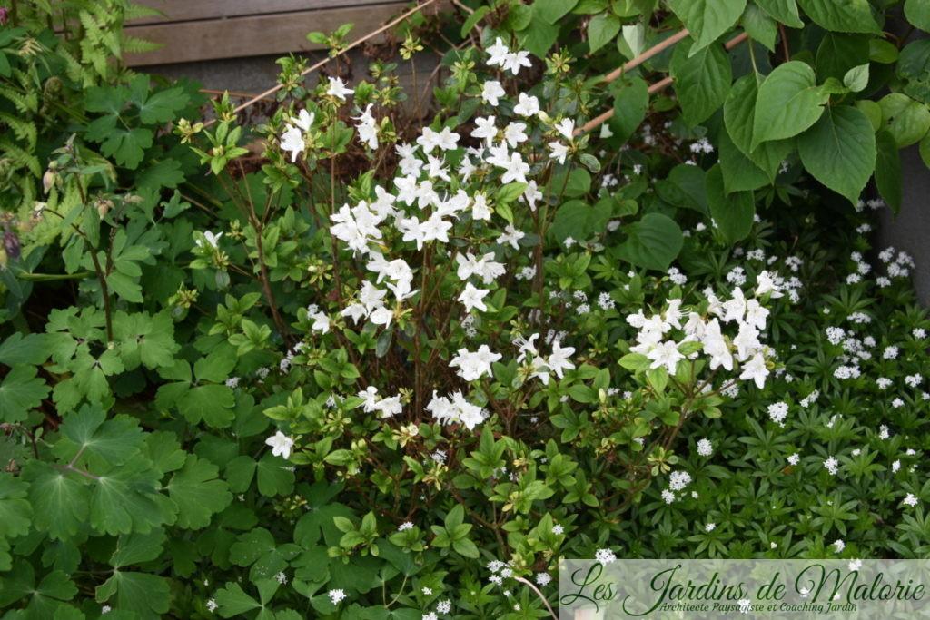 azalée 'Schneewittchen' (fin de floraison)