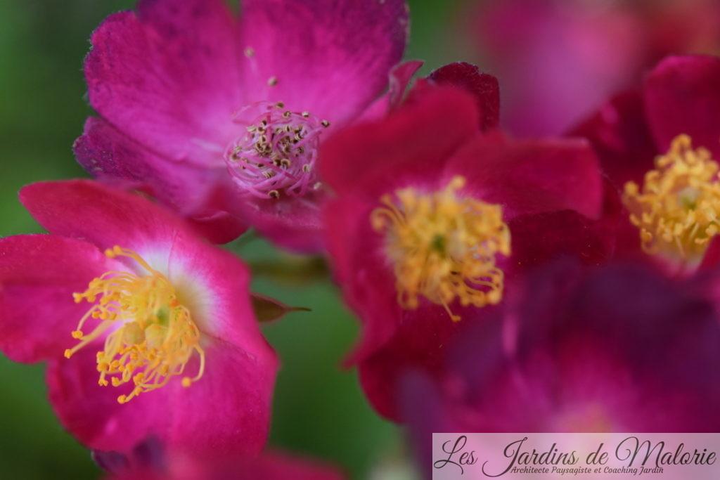 rosier 'Mademoiselle des Minuits'