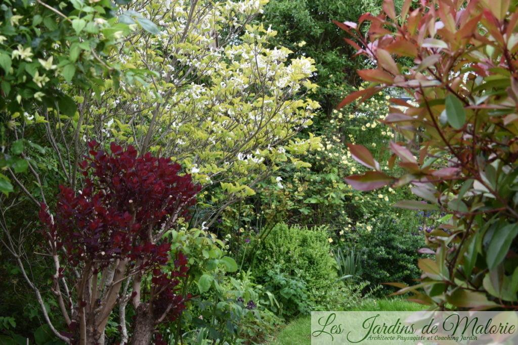 cotinus pourpre et cornus florida en fleurs