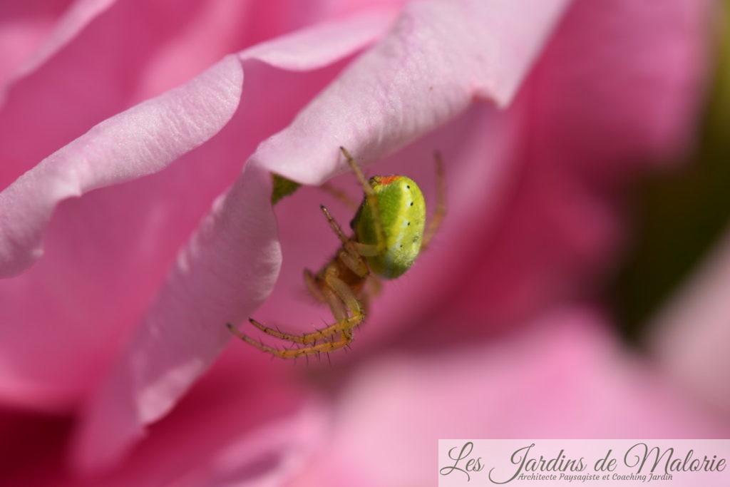 Araignée courge, épeire concombre, Araniella cucurbitina