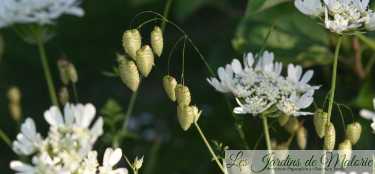 Mes indispensables : Orlaya grandiflora