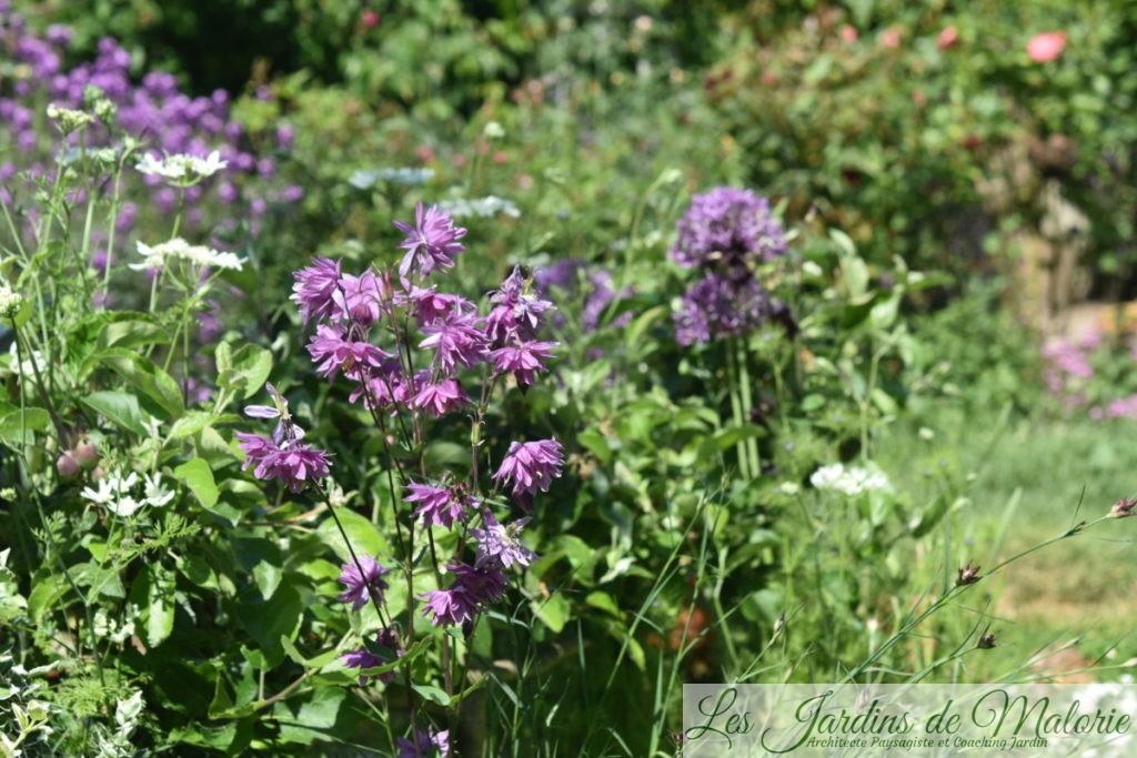 Aquilegia vulgaris, l'ancolie des jardins
