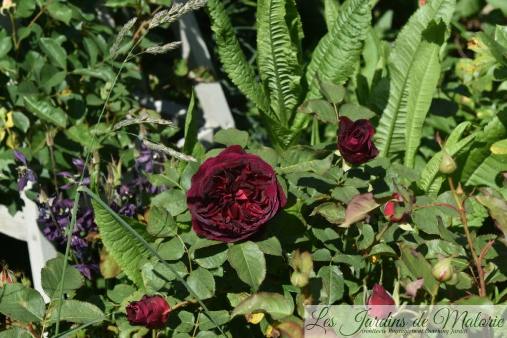 rosa 'Munstead Wood'