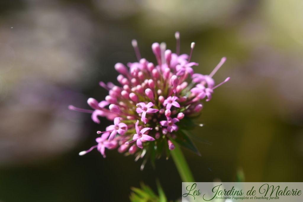 Phuopsis Stylosa (cruccianella) au bord du bassin