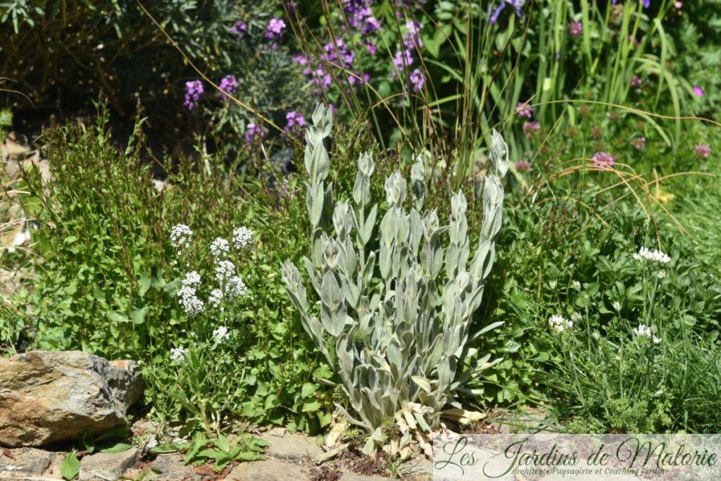 campanules des murs, lobularia maritima, coquelourdes, Phuopsis Stylosa (cruccianella)