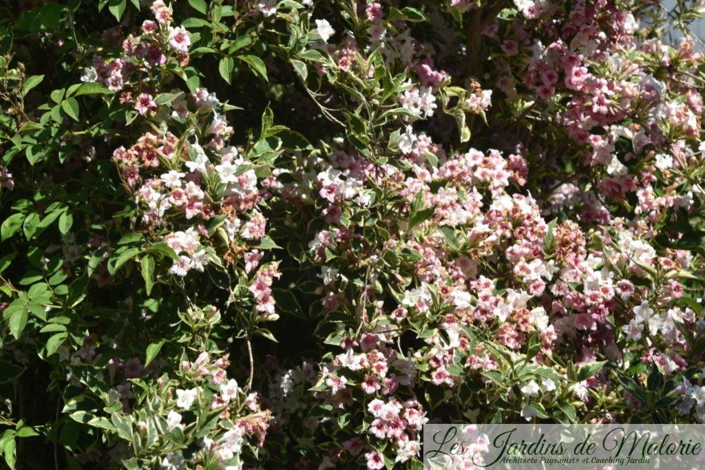 weigelia florida variegata
