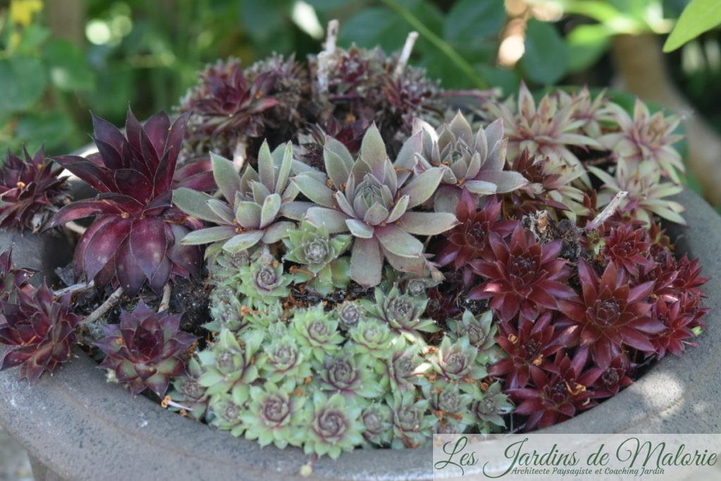 sempervivum plantes de rocaille
