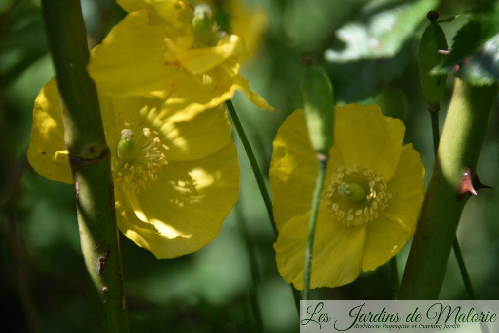 Un coquelicot jaune? Meconopsis cambrica, le pavot des Pyrénées ou Pavot du Pays de Galles