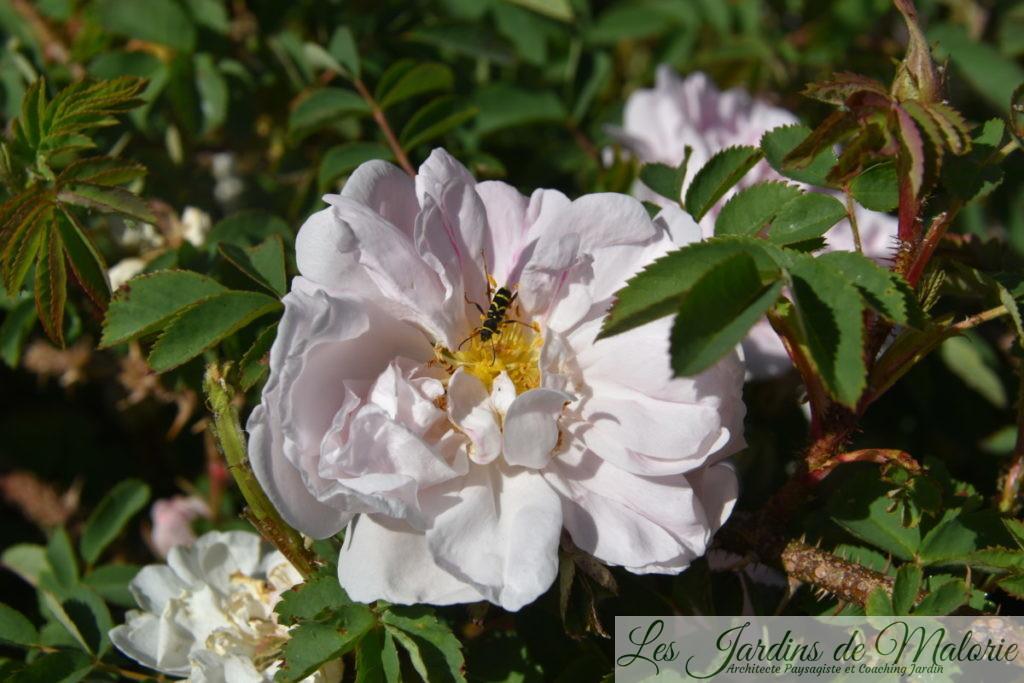 un clyte bélier sur Rosa (x) pimpinellifolia 'Stanwell Perpetual' (Rosier ancien)
