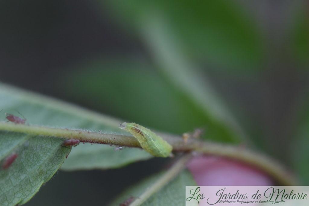 larve de syrphe, prédatrice de pucerons