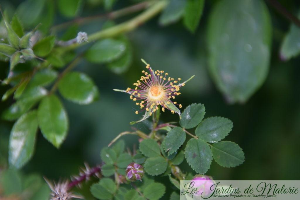 rosier pimpinellifolia 'Single Cherry', un joli coeur d'étamines dorées, même quand les pétales sont tombés