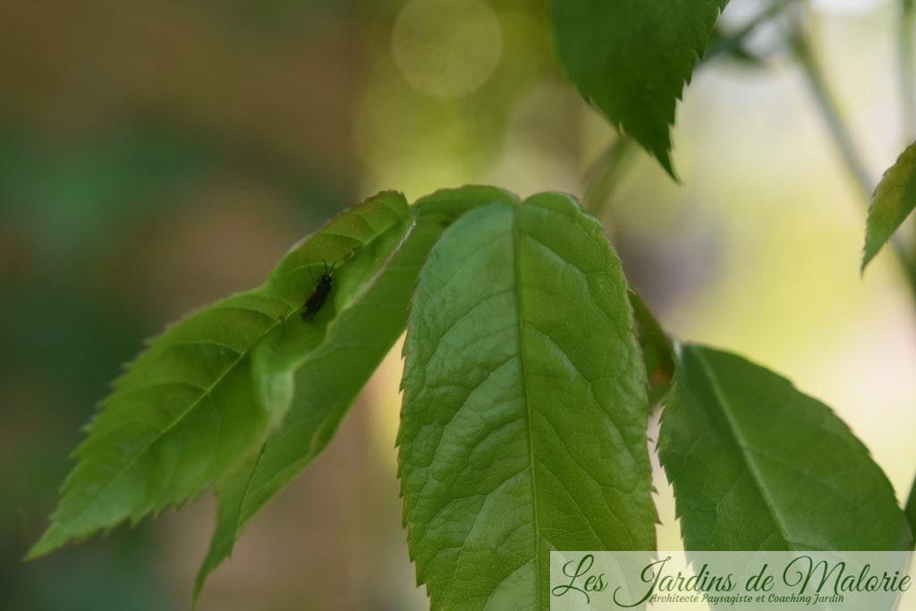 blennocampa pusilla (aussi appelée tenthrède rouleuse des feuilles de rosier)
