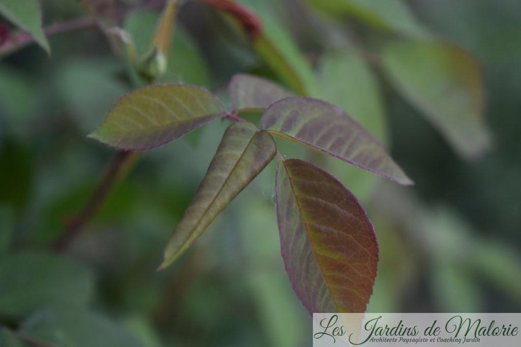 feuille de rosier enroulée par blennocampa pusilla (aussi appelée tenthrède rouleuse des feuilles de rosier)