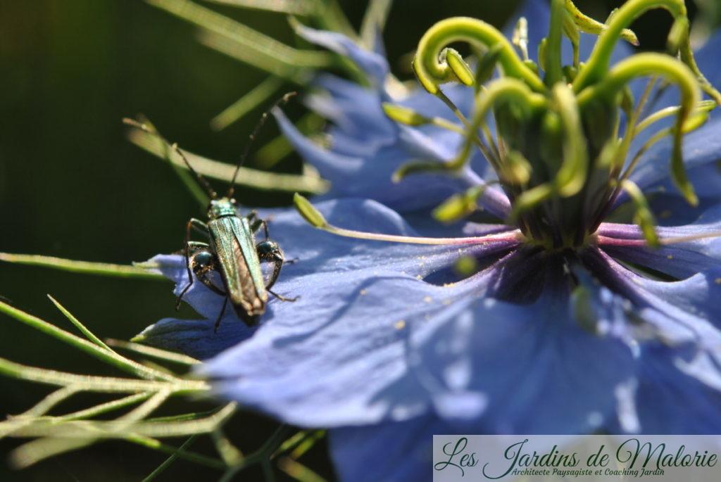 insecte vert, Oedemère noble, Oedemera nobilis, mâle avec ses gros mollets, sur fleur de nigelles